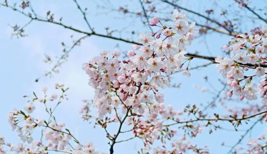 羽田空港と隅田公園の桜をご紹介